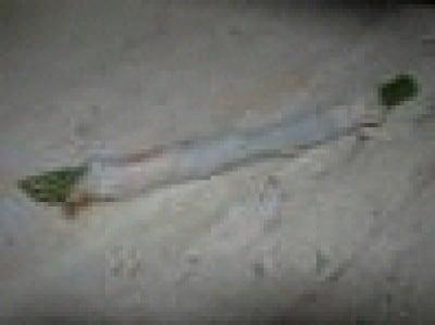 Asparagi in sciarpa
